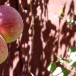 EbbSpark Apples image