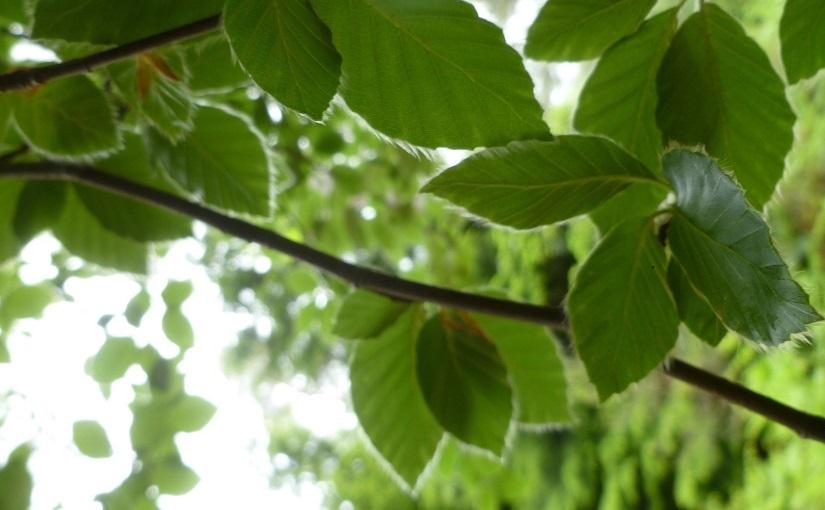 EbbSpark Beech Leaf image