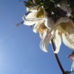 EbbSpark Clematis Sun image