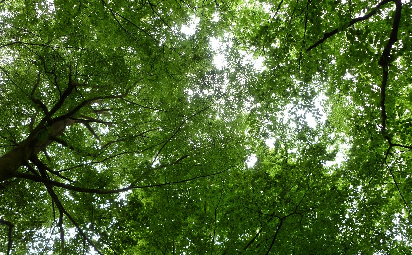 Beech tree canopy in forest