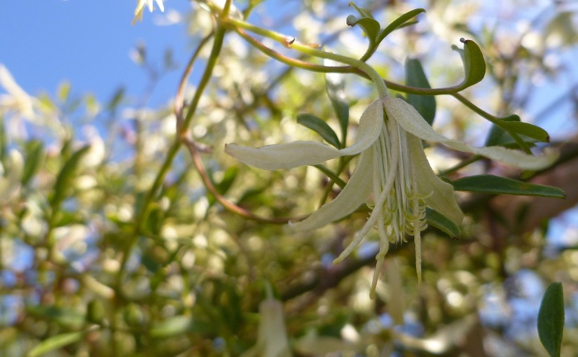 Clematis blossom set against foliage