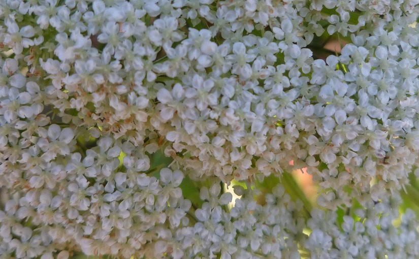 Fragrant carrot blossoms