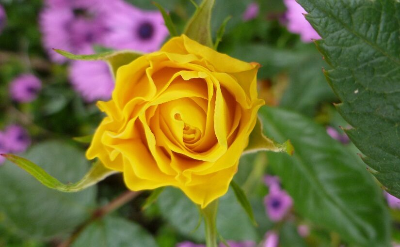 Lemon yellow rose unfurling against its background