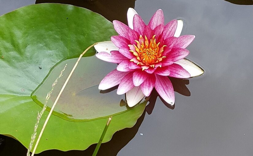 Lily flower and leaf