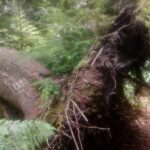 Roots of an established, uprooted tree