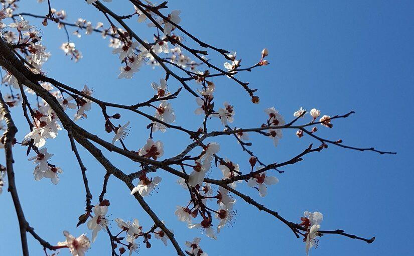 White spring blossoms on dark branches against blue sky
