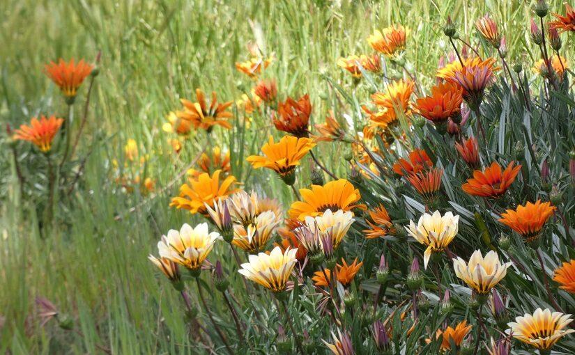 Drift of orange Gazanias against grass