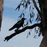 Magpie perching on a broken branch
