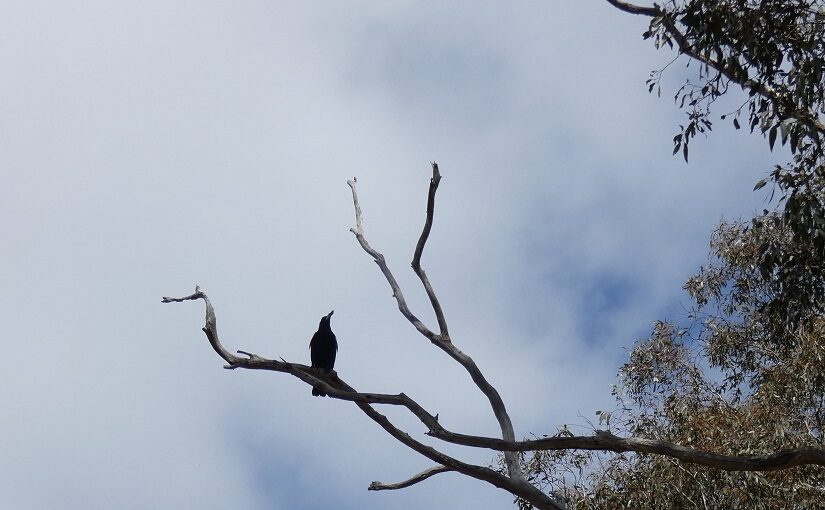 Crow perching on a bare branch in a forest