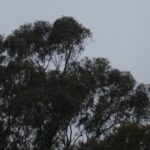 Gum trees standing against rain and wind