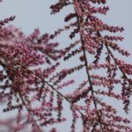 Tamarisk buds against muted blue sky