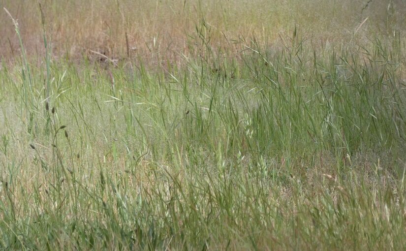Drifts of grasses growing together