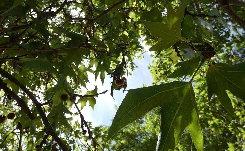 Canopy of a plane tree against light sky