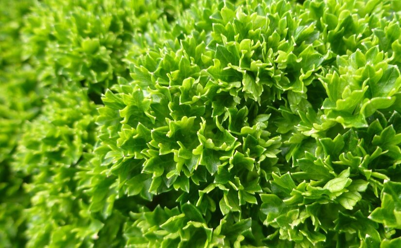 Parsley foliage