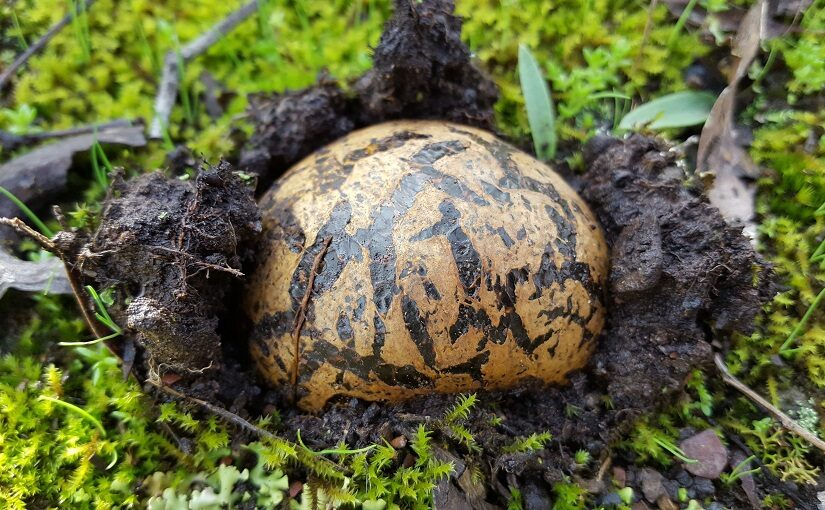 Striped mushroom emerging from mossy earth